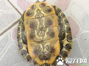 乌龟怎样睡觉 乌龟睡觉都有20分钟的浅眠期